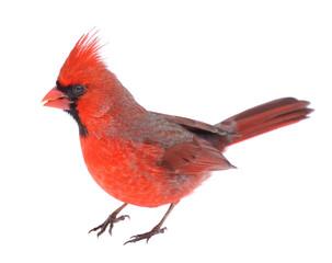 Cardinal Isolated