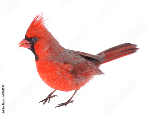 Foto op Canvas Vogel Cardinal Isolated