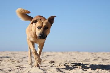 Beiger Schäferhund am Strand