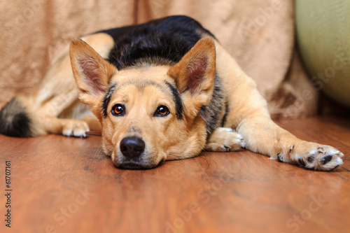 dog with brown eyes lying on the floor