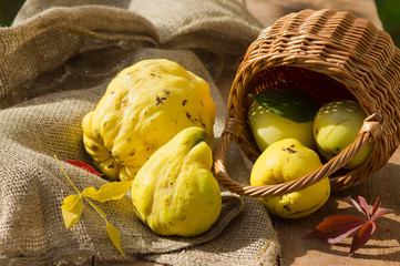 Yellow quinces and apple  out of a basket