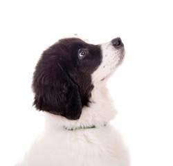 Landseer Hundewelpe im Profil
