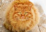Red tabby hairy cat on wooden stairs