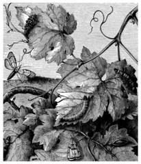 Insect : Pyralis Vitana - Pyrale de la Vigne