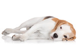 sad beagle dog lying down