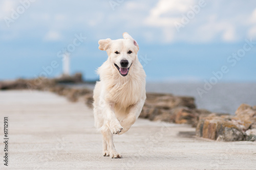 happy golden retriever dog running by the sea