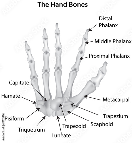 The Hand Bones Labeled