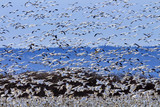 Hundreds of Snow Geese Taking Off Flying Washington