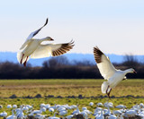 Snow Geese Wings Extended Landing Washington
