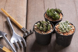 Three mini cactus in pots