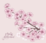 Cherry in blossom. Spring floral background