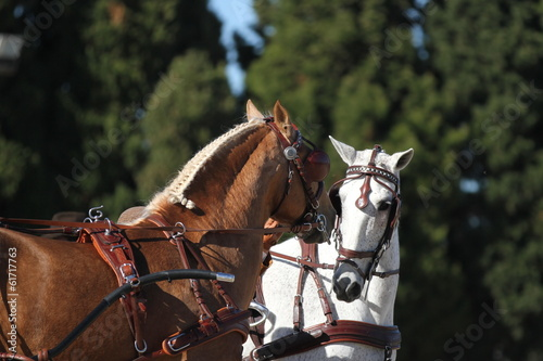Zwei Kutschpferde