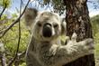 Leinwandbild Motiv Koala