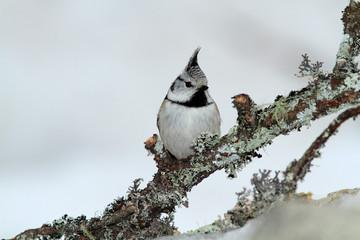 uccello cincia dal ciuffo in stagione invernale