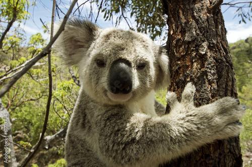 Plakát, Obraz Koala