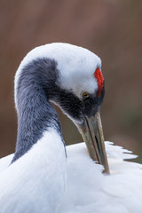 Red-crowned Crane - Grus japonensis