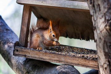 Squirrel in the forest on the feeder