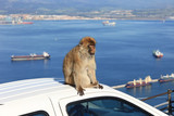 Barbary Ape with Gibraltar Harbor Landscape