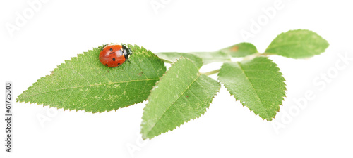 Ladybug on green leaf isolated on white
