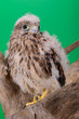 young chick hawk