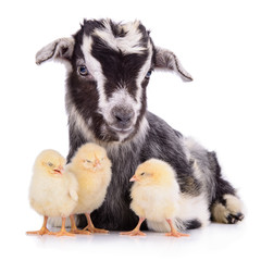 goat and chickens