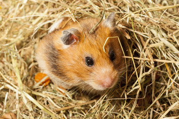 Hamster in a hay, portrait of popular pet.