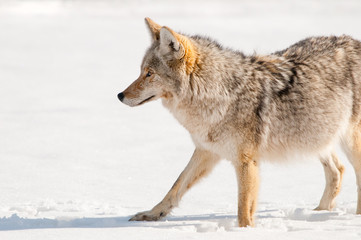 Coyote hunting in Snow - Yellowstone National Park