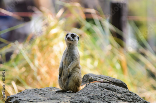 Meerkat standing to lookout