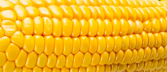 Yellow sweet corn on the background