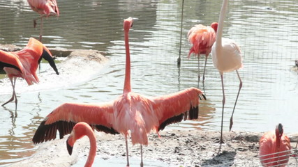 flamingo try to fly