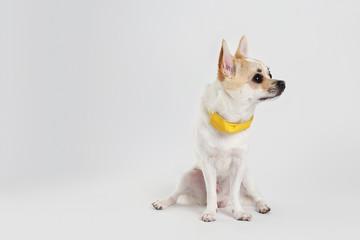 chihuahua Yellow Collar