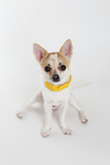 chihuahua Yellow Collar