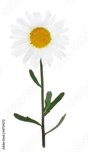 isolated large chamomile flower on green stem