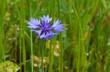 canvas print picture - fiordaliso (Centaurea cyanus)
