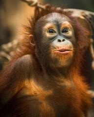 monkey orangutan