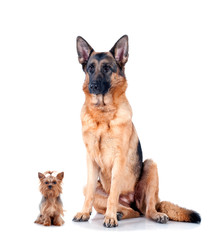 German Shepherd and Yorkshire Terrier isolated on white
