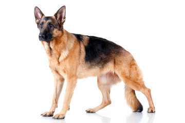German Shepherd isolated on white background