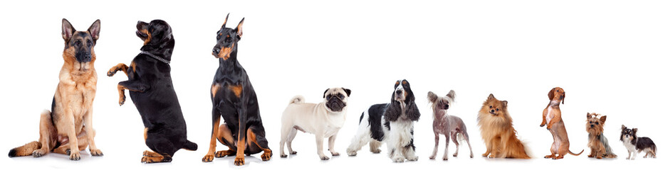 Group of different dogs isolated on white background