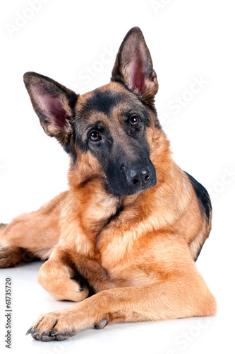 German Shepherd isolated on white background, lying down.