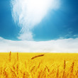 field with golden barley and clouds in blue sky