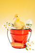 Duckling in red bucket