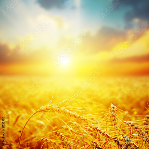 golden harvest in sunset