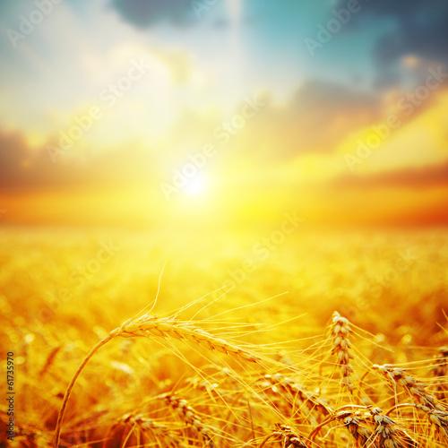 Plexiglas Zonsondergang golden harvest in sunset