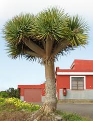 Canary Islands dragon tree