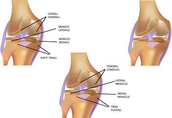 ginocchio anatomia