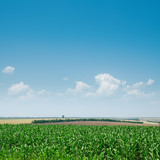 field with green maize and blue sky