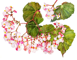 Watercolor with begonia in blossom