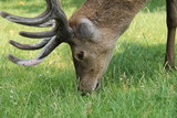 The Head of a Large Red Deer with Antlers.