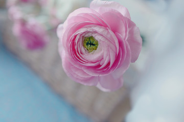 pink peony bud on a gentle background