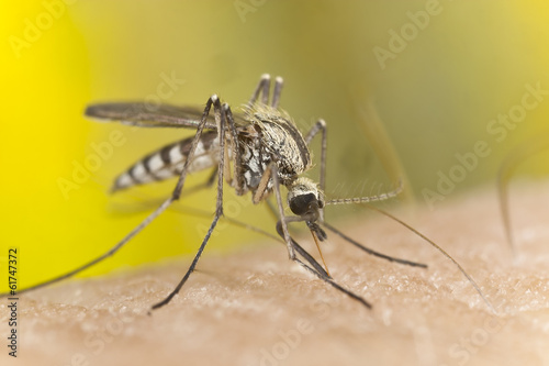 Mosquito sucking blood, macro photo
